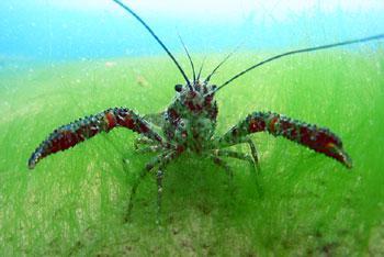 Koura (native freshwater crayfish). Picture by J Clayton, NIWA